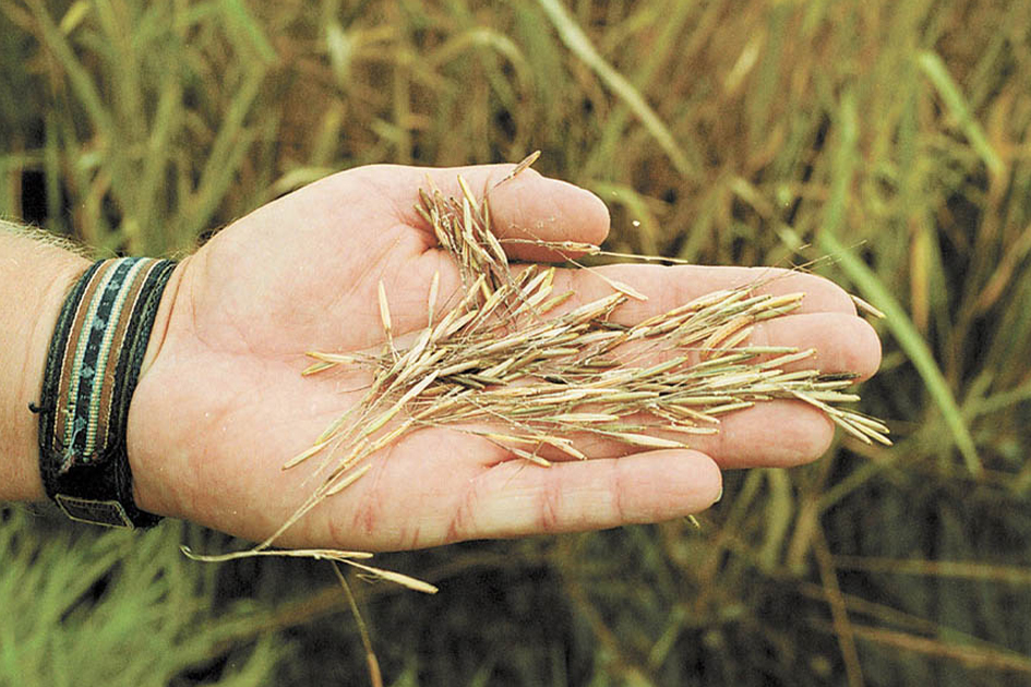 Wild Rice Harvest By Chippewa – Permit Torn To Shreds